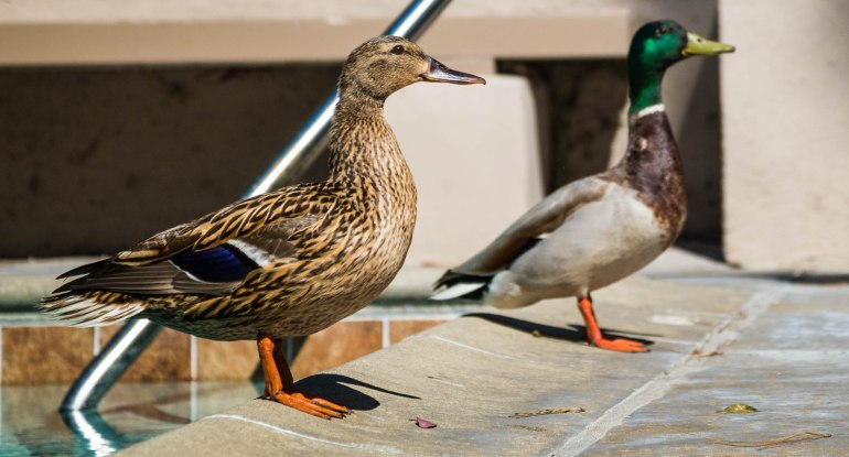 A pair of mallards, standing side by side before taking flight.
