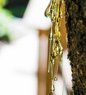 A close up of the dangling tree sap, back lit by the afternoon sun.