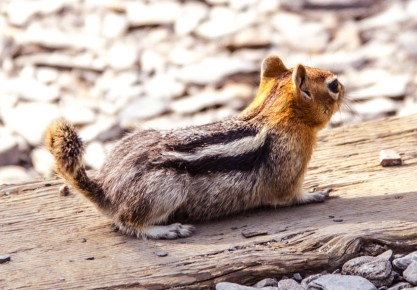 A ground squirrel posed for a picture while gathering food on the shore of Convict Lake, CA.