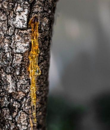 A long piece of dried tree sap on a tree.