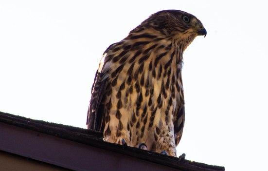 Cooper's Hawk (1 of 7)