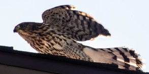 A cooper's hawk stretches its wings, agitated at the interrupted meal.