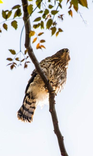 Cooper's Hawk (3 of 7)
