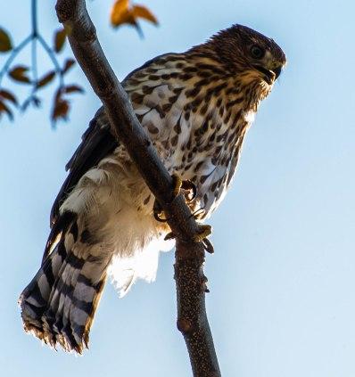 Cooper's Hawk (4 of 7)