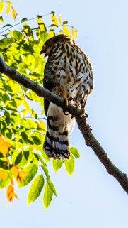 Cooper's Hawk (5 of 7)