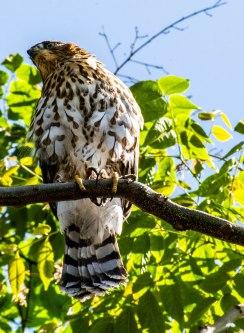 Having interrupted breakfast, a hawk keeps watch on its meal.
