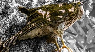 A cooper's hawk perched on a tree.